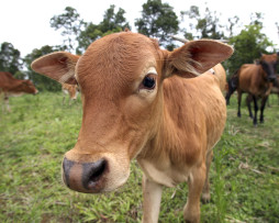 cow2_RGB-254x203